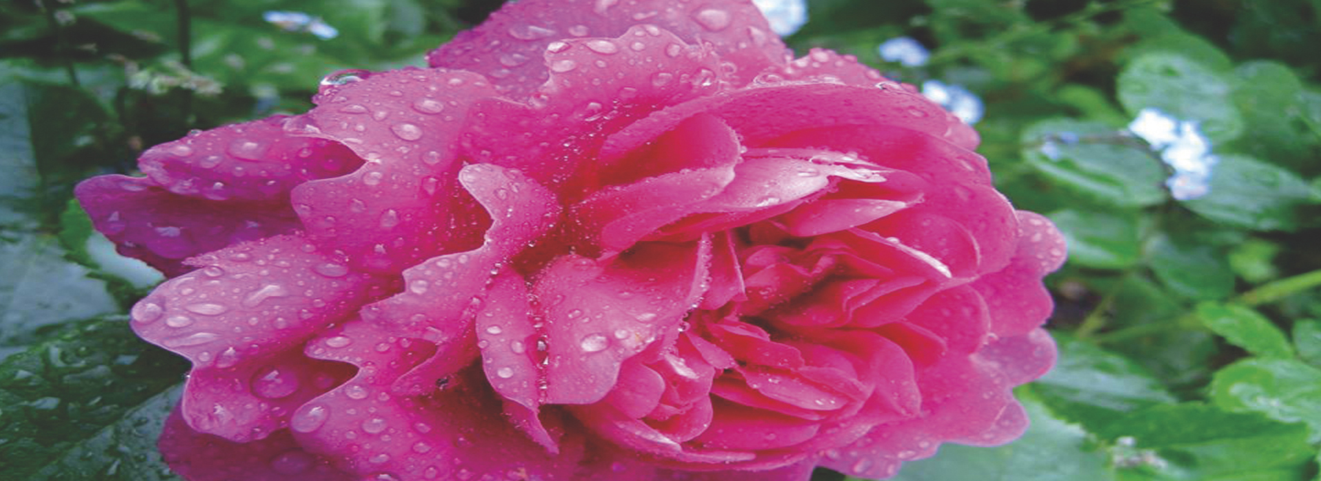 rose_RGB_72dpi_web-1